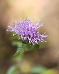 IMG_5896 (lilbuttz) Tags: park flower june purple like 2012 foothill foothillpark june2012
