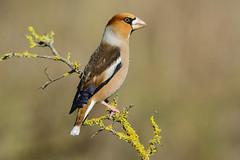 UN BEL MASCHIO DI FROSONE (d.carradori) Tags: natura uccelli toscana atmosfera danilo uccellini eliteimages frosone carradori