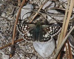 Pyrgus communis, Common Checkered-skipper (tripp.davenport) Tags: tx skipper lepidoptera guadalupemountainsnationalpark guadalupemountains mckittrickcanyon pyrguscommunis commoncheckeredskipper culbersoncounty