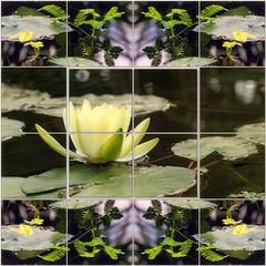 Tündérország - Fairyland (Tölgyesi Kata) Tags: winter waterlily blossom mosaic yellowflower greenhouse botanicalgarden mozaik botanikuskert üvegház tuzsonjánosbotanikuskert tündérrózsa withcanonpowershota620
