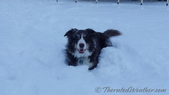 February 1, 2015 - Scout loves the snow! (ThorntonWeather.com)