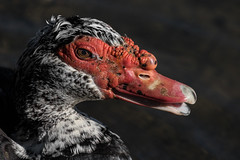 Be My Valentine (Daryl O'Hare Photography) Tags: park red white black bird duck pond roswell bump muscovy