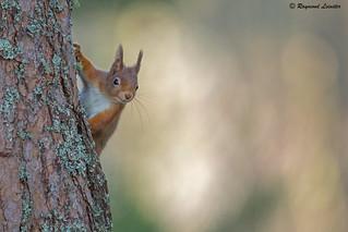Red Squirrel - Helloooo !