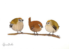 Trio de choc (François Berthet) Tags: birds drawing regulus troglodytes triple oiseaux letraset bandeau feutre huppé roitelet promarkers