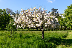 Neuilly sur Seine, France - Cherry Blossom (GlobeTrotter 2000) Tags: park flower tree nature spring blossom cherryblossom neuilly neuillysurseine