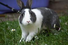 za-zaan (divi333) Tags: rabbit bunny bunnies ferrara rabbits conigli coniglio 2016 conigliando