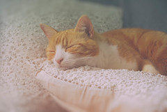 The Prince and the pea (cuppyuppycake) Tags: sleeping pet cat ginger beads nikon indoor pillow sleepy tired resting d7200