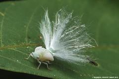 Planthopper Nymphs (Shamsul Hidayat Omar) Tags: macro animal bug insect lens photography nikon bio 55mm malaysia omar selangor biodiversity planthopper nymphs hidayat micronikkor greatphotographers shamsul kepelbagaian d800e