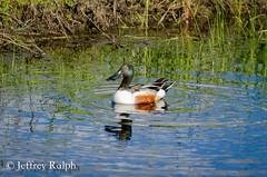 DSC_6020 (ralphsplitter) Tags: county water centennial duck idaho marsh prairie shoveler camas