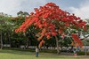 Flame flower (xhowardlee) Tags: flamboyant green red poinciana scarlet trees extravagant flowers royal delonix lush nature regia feathery plants leaves flame tree bright tropical blossoms nikon 28mm f18 bee 戶外 植物 樹 花 景深 開花 秋葉 花叢 雌蕊