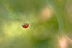 Magic Ladybug (brady tuckett) Tags: flowers light flower color macro nature colors 50mm lights spring natural bokeh beetle grlitz m42 ladybird ladybug macros brady manualfocus meyer tuckett springtime farben manuallens oreston m42mount m42lenses meyeroptikgrlitz meyeroptikgrlitzoreston50mmf18 meyeroptikgrlitzoreston bradytuckett