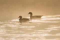 On Golden Pond (bartlepm) Tags: wood morning mist fog sunrise golden duck nikon peter tamron bartlett