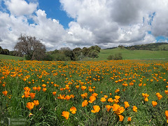 Grassy Meadow and Poppies (James L. Snyder) Tags: california ranch park flowers trees orange usa sunlight foothills green grass horizontal clouds rural march spring afternoon flat bright cloudy native country seasonal meadow sanjose sunny bluesky hills ridge pasture level valley cumulus poppies bayarea verdant wildflowers lush vernal pastoral grassland puffy brilliant herb perennial bucolic luxuriant grassy californiapoppies santaclaracounty eschscholziacalifornica 2016 countypark copadeoro diablorange frontlighting josephgrantcountypark hallsvalley flameflower laamapola washburntrail ranchocañadadepala