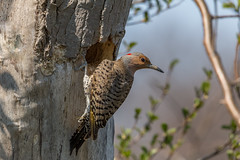 Northern Flicker (hey its k) Tags: ca ontario canada nature birds wildlife hamilton tamron hfg northernflicker cootesparadise princesspoint img0219 canon6d 150600mm