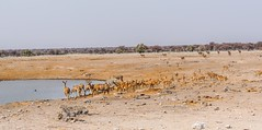 DSC08226-20150923 (C&P_Pics) Tags: na zebra impala bovidae mammals namibia kudu burchellszebra etoshanationalpark oshikoto namutonicamptohalalicamp