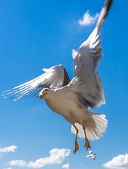 DSC00372-2 (UmitCukurel) Tags: turkey seagull sony turkiye istanbul pajaro bosphorus marti lightroom galata goldenhorn halic a7ii