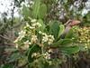 Rosaceae, Heteromeles arbutifolia, Toyon (aking1) Tags: 5petals heteromelesarbutifolia rosaceae toyon white sandiego california unitedstates