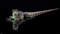 """Will you quit staring at me!"" (susie2778) Tags: studio nikon flash captive bournemouth chinesewaterdragon sigma105macro physignathuscocincinus d7100 captivelight"