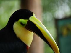 P1130535 (lychee_vanilla) Tags: bird animal garden toucan costarica lapaz tier waterfallgarden tucn blackmandibledtoucan ramphastosambiguus vigel quioro tucnpiconegro