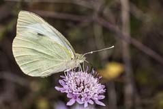 Pieris brassicae (Jaume Bobet) Tags: macro canon sigma lepidoptera mariposa bobet insecto pieris pieridae brassicae