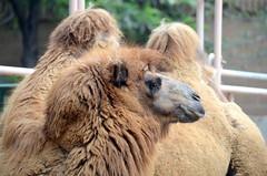DSC_0857 (Sketchpoet) Tags: zoo camel humps bactriancamel humpday santaanazoo