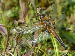 Four-Spotted Chaser (ukstormchaser (A.k.a The Bug Whisperer)) Tags: uk morning sunlight macro animals fly pond dragonflies may insects flies ponds chaser basking odonata settled fourspotted