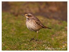 DS0D7699-Bluethroat,-lusinia-svecica (duncancooke.happydayz) Tags: uk bird nature birds scotland native wildlife may british isle bluethroat distinguishedbirds birdperfect naturesgreenpeace