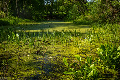 Green pond (kaifr) Tags: plants green water sunshine outdoors pond growing algea