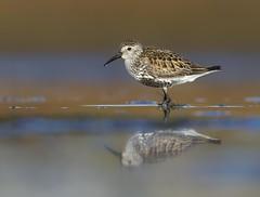 Lurll - Dunlin - Calidris alpina (Baddi89) Tags: bird nature birds animal iceland wildlife ngc birding fugl dunlin calidrisalpina sland reykjanes fuglar lurll canoneos7d