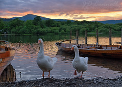 Geese At Derwentwater (Jason Connolly) Tags: sunset geese cumbria derwentwater keswick thelakes thelakedistrict thelakedistrictnationalpark cumbrianlandscape