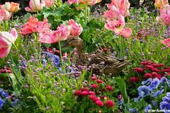 Duck (@mvkooten) Tags: flowers flower bird duck spring lente eend vogel springtime
