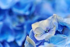 My heart will go on () Tags: flowers blue macro heart bokeh hydrangea   fe90mmf28macrogoss