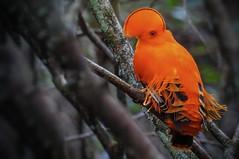 Rupicola rupicola (Aisse Gaertner) Tags: brazil bird amazon nikon p900 coolpix birdwatching birdwatcher rupicolarupicola blinkagain