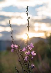 Sunlight on Flower Petals (Explore) (Renate Flynn) Tags: canon5dmarkiii deepcreekmeadow deepcreekranch flynnranch clouds flower goldenhour ranch sunflare sunset macro 100mmf28l dof explore outdoor flora exposure