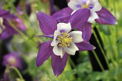 Double couleur (sandrineiwok) Tags: flower fleur violet vert blanc printemps