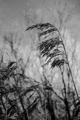 Tall Grass Blowing (Richie Rue) Tags: blackandwhite monochrome grass mono flora wind blowing richie richard breeze rue roylance nikond300 richierue