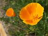 Californian Poppy (gripspix (OFF)) Tags: plant flower nature blossom natur pflanze blume blüte californianpoppy goldmohn 20160523 foolingwithmycam kameranarrheiten