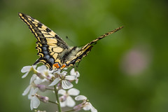Chocks away! (Swallowtail) (Photography by Tosh) Tags: uk flowers colour nature butterfly insect wonder outdoors photography nikon pretty patterns norfolk d750 fen eastanglia rspb strumpshaw strumpshawfen martintosh