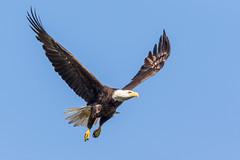 American Bald Eagle (Glenn.B) Tags: florida baldeagle ftmyers americanbaldeagle 2016 ftmyersbaldeagle dickpritchardestate