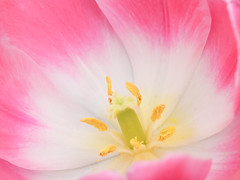 (Carl_W) Tags: pink flower nature yellow closeup canon hongkong eos spring heart tulip flowershow closer 6d eos6d canoneos6d hongkongflowershow2016
