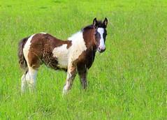 Tinker Fohlen (@frauchi) Tags: canon weide natur pferde pferd tier fohlen tinkerfohlen eos700d