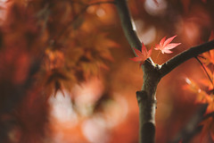 Autumn in April (Tammy Schild) Tags: light red orange tree nature leaves canon spring glow dof bokeh branches japanesemaple 135l