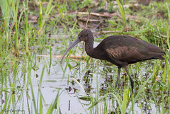 Glossy Ibis - Low Newton By The Sea, Northumberland (Gary Woodburn) Tags: sea by canon low 300mm glossy ibis northumberland 7d scape f4 newton scrapes wader