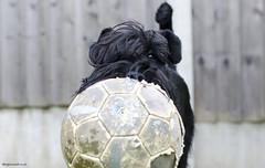 Ball (bigbluewolf) Tags: dog pet pets black dogs ball garden fun 50mm nikon may schnauzer standard standardschnauzer schnauzers d7000