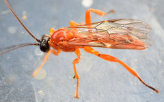 9.8 mm male ichneumon (ophis) Tags: ichneumon hymenoptera ichneumonidae ichneumonoidea parasitica pimplinae pimplini theronia theroniahilaris