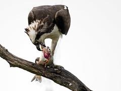 Osprey with Fish (Brian E Kushner) Tags: beach lens ed nikon brian e fl nikkor vr afs 800mm ospreypandion kushnernikon f56e tc800125e haliaetusthompson njthompsonbeachnewjerseybirdingbirddelaware baymauricerivernikond5nikon d5naturewaterbkushnerwildlifeanimals