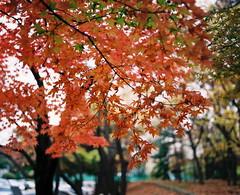 1254/1734' (june1777) Tags: autumn tree mamiya maple fuji superia seoul 100 90mm kl 67 rz rz67 f35