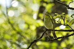 Wood Warbler (David in SK6) Tags: woodwarbler