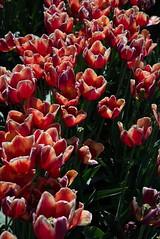 DSC_3781 (Copy) (pandjt) Tags: ca flowers canada bc britishcolumbia tulip abbotsford tulipfestival abbotsfordtulipfestival