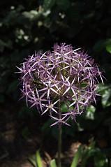 DSC07358.jpg (liangjinjian) Tags: usa flower geotagged maryland silverspring  glenallen geo:lon=7703652000 alphaa55sony geo:lat=3905726000